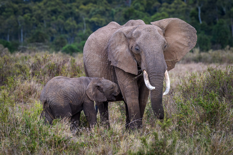 Baby elephant nursing, Masai Mara, Kenya, East Africa