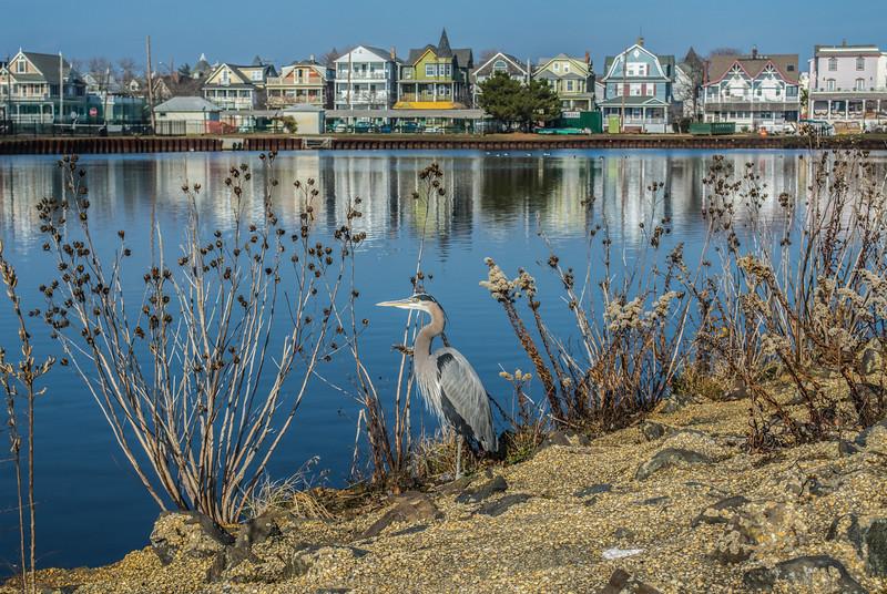 Great Blue Heron on Fletcher Lake, Ocean Grove, NJ