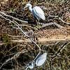 Reflection of a Egret at Assateague Island 10/15/16