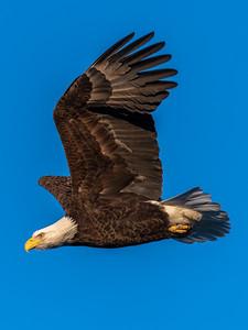 A Bald Eagle in Flight at Manasquan Reservoir 1/31/19