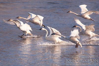Swans2n