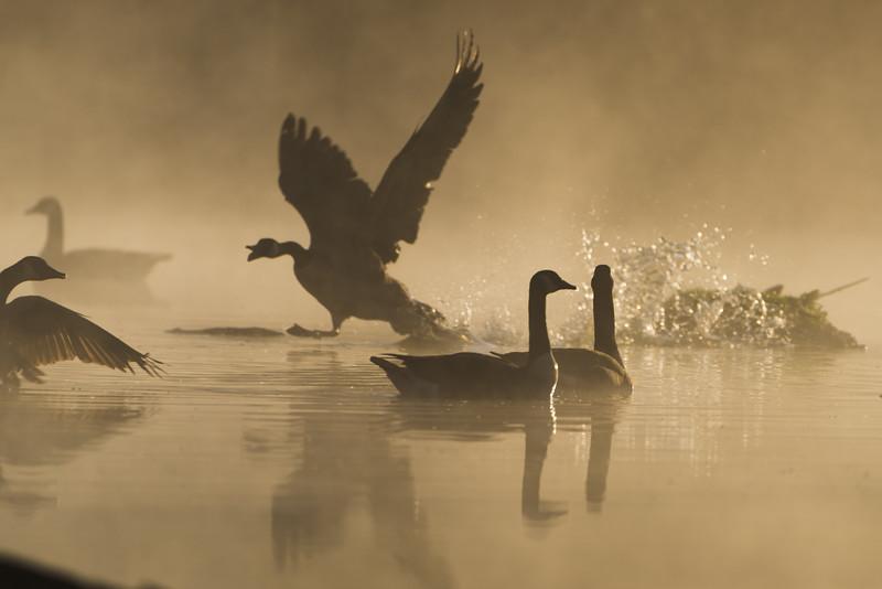 243- Canada Goose