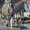 Plains zebra, Etosha National Park, Namibia Africa #wildlifephotography