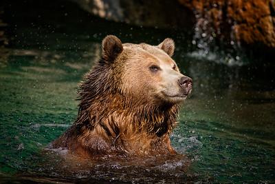 Bear swimming