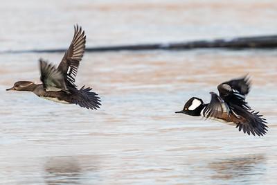 Female and Male Hooded Merganser Ducks