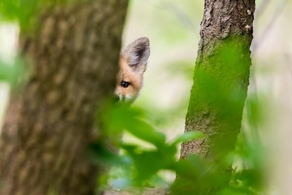 Fox Kit Peek-a-Boo