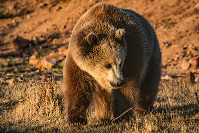 Grizzly Bear in early morning light...