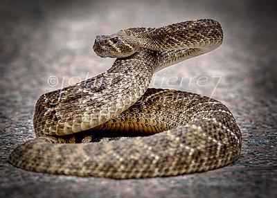 rattlesnake-05
