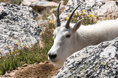 Papa Goat