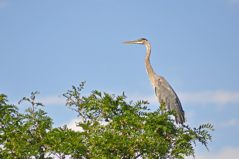 200 - Blue Heron, Colorado