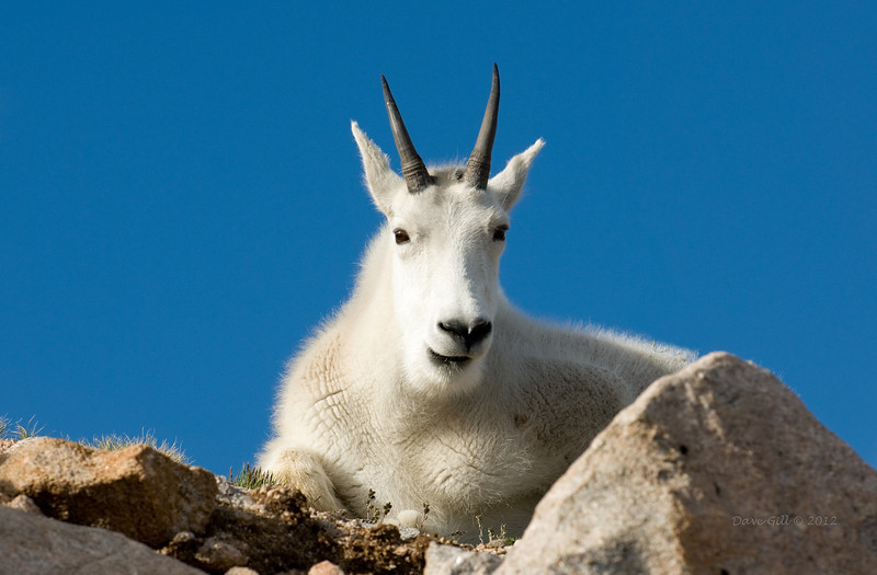 A Billy (Oreamnos americanus, Colorado Goat, or Mountain Goat) resting in the sun on the alpine tundra at about 13,500 feet above sea level.