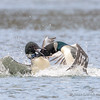 Common Loons Fighting