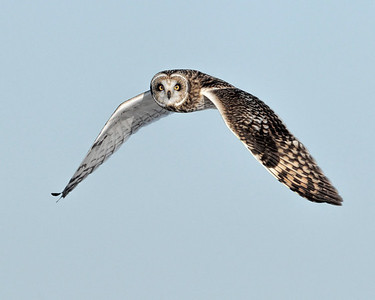 _NW86462 Short Eared owl in Flight