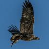 Juvenile Bald Eagle with Fish