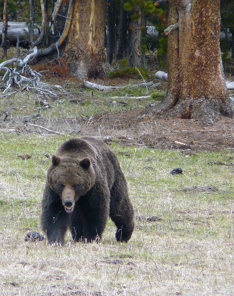 Grizzly Bear - Yellowstone National Park near Fishing Bridge