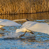 Trumpeter Swans Taking Off from Lake