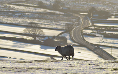 MAle sheep in snow.
