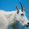 Mountain Nanny Goat (Female)