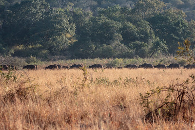 African Buffalo in the long grass whispers