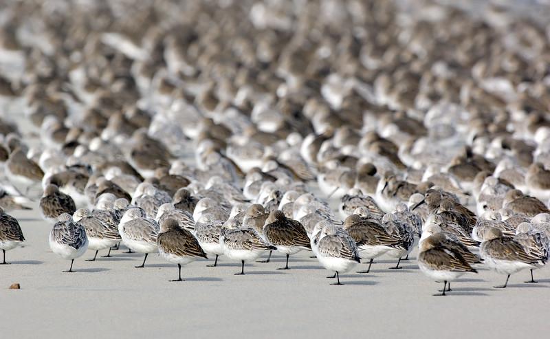 _JFF4319 Shorebirds at Rest ~ Fall Migration - Copy