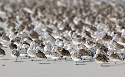_JFF4319 Shorebirds at Rest ~ Fall Migration - Copy