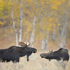 Moose Couple, Grand Teton National Park, Wyoming