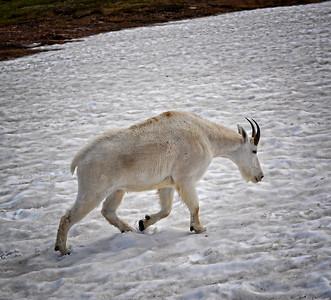 Coated Goat