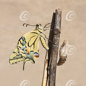 Newly Emerged Old World Swallowtail Butterfly beside Its Empty Chrysalis