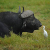 Cattle Egret Inspecting Cape Buffalo's Teeth, Amboseli National Park, Kenya, East Africa