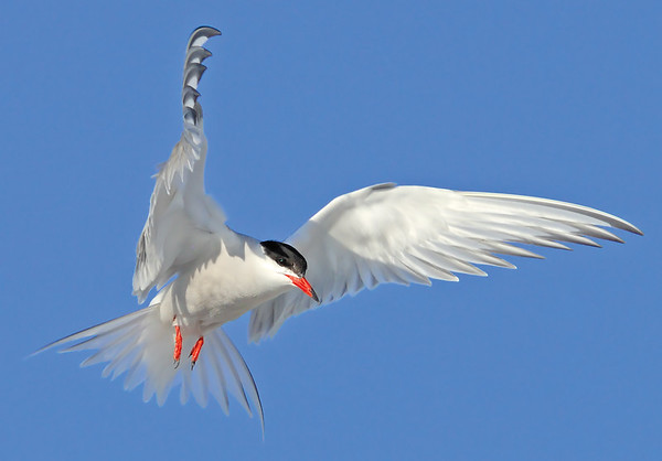 _JFF3258 Common Tern Hovering ~ Plymouth MA - Copy