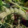 Hummingbird Moth Caterpillar 7/11/17