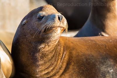 Smug Sea Lion