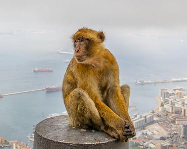 Gibraltar Macaques