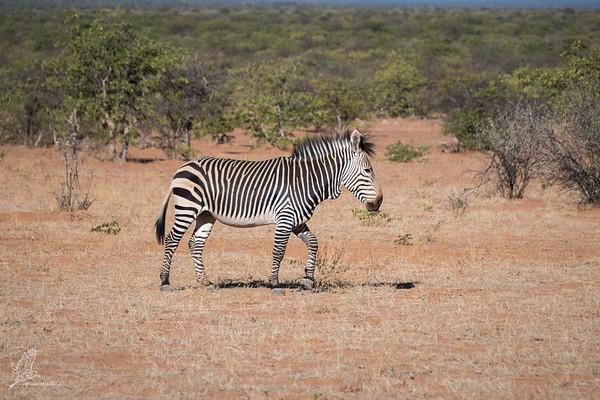 Equus zebra hartmannae