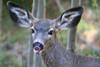 deer kisses IMG_8594 rt