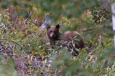 Teton Black Bear Cub