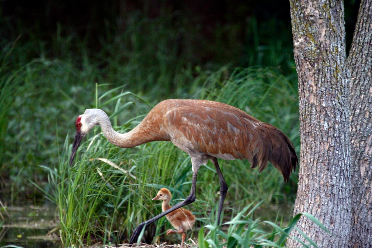 Sandhill Crane and chick near Sullivan, Wisconsin