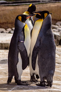 Edinburgh Zoo: King Penguins