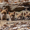 Red Fox Kits In Their Den 4/28/21