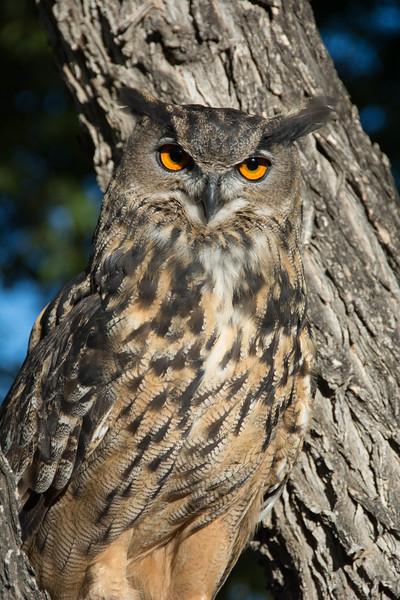 416 - Eurasian Eagle-Owl