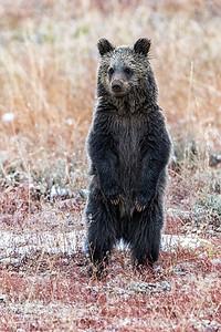 Bear Cub Stands