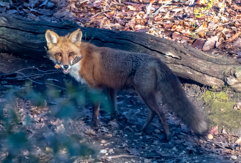 An Adult Red Fox 5/2/20