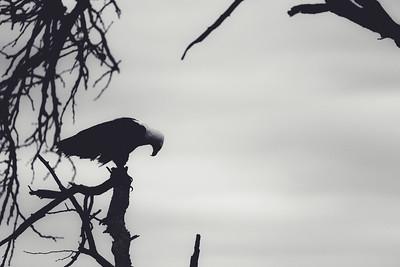 African fish eagle, Kruger National Park, South Africa