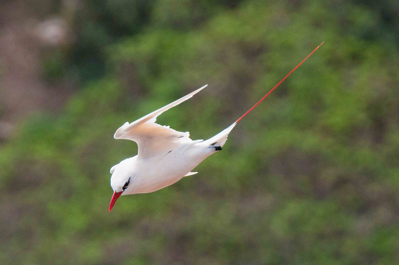 Red-tailed Tropicbird, Hawaii