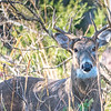White-Tailed Buck 11/11/16