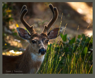 Antlered deer in the shadows-Edit-Edit