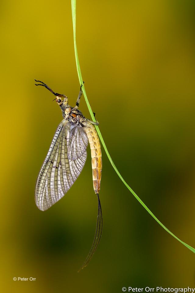 Mayfly Dun