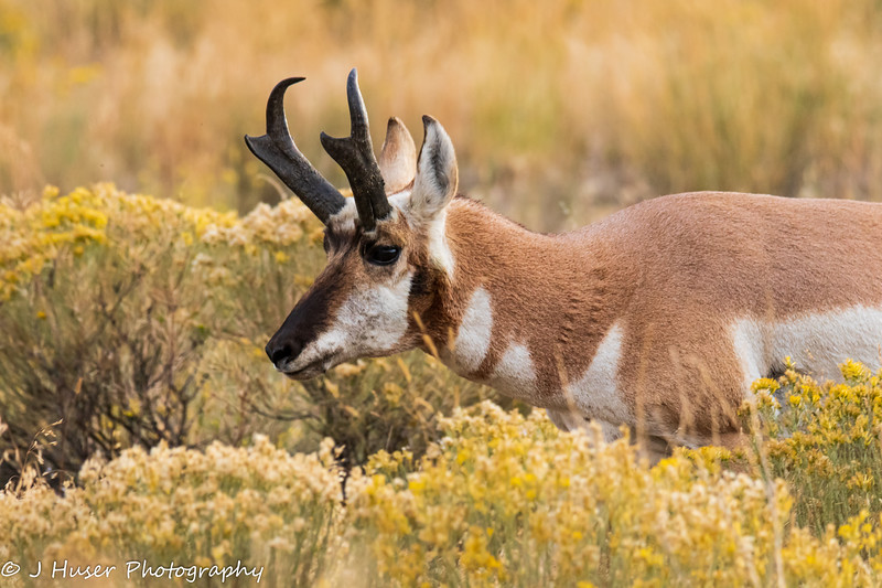 Male Pronghorn Antelope in Yellowstone NP