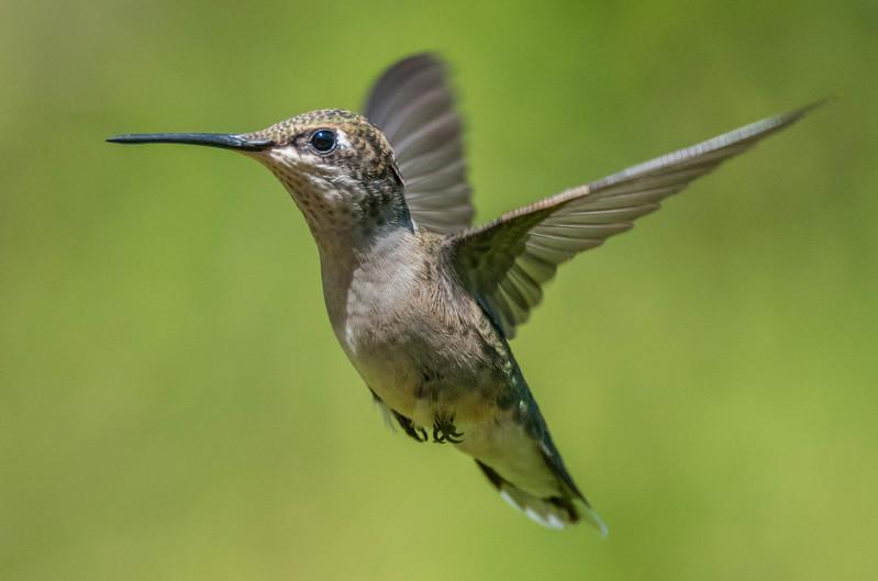 Ruby-Throated Hummingbird 8/23/16