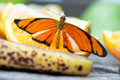 Tropical Butterfly_4